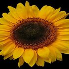 SUNFLOWER CARD by RoseMarie747