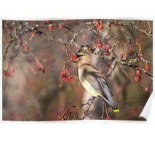 Cedar Waxwing Eating Berries 6 Poster