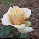 A Rose In December ~ by Ginny York