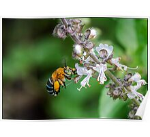 Blue Banded Native Bee Poster