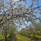 Almond Plantation by Nira Dabush