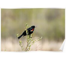 Red Winged Blackbird in a Marsh Poster