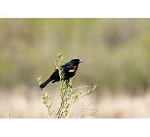 Red Winged Blackbird in a Marsh Photographic Print