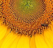 Sunflower #11 by RSkinner