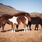 Icelandic Horses - Mother and two foals by Christopher Cullen