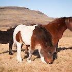 Icelandic Horses by Christopher Cullen