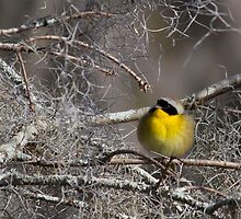 Common Yellowthroat (Geothlypis trichas) by Liam Wolff