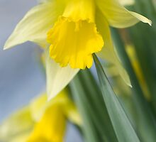 Golden Daffodils by Anne Gilbert