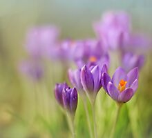 Crocuses.... waking up! by Bob Daalder