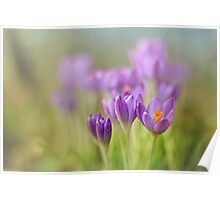 Crocuses.... waking up! Poster