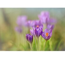 Crocuses.... waking up! Photographic Print