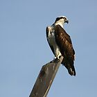 OSPREY by fsmitchellphoto