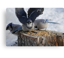 Blue Jays feeding time Canvas Print