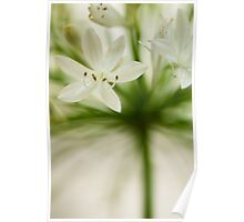 Soft Agapanthus Poster
