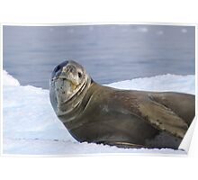 Leopard Seal Resting on an Ice Floe Poster