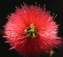 Bottlebrush Callistemon by VallyDalPra