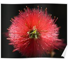 Bottlebrush Callistemon Poster