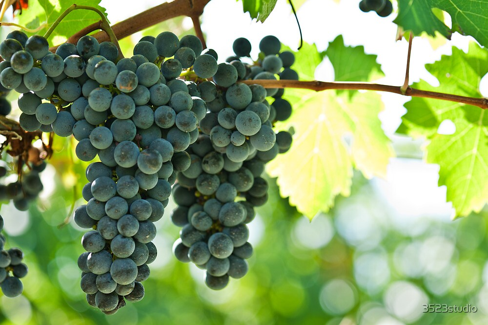Ripe red wine grapes  by 3523studio