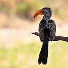 Hornbill by Macky