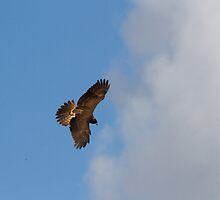 The Baby Harrier by byronbackyard