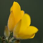Gorse Flowers by Robert Carr
