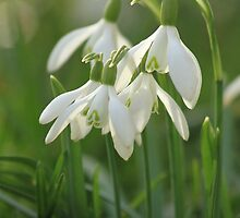 Snow drops in the morning sun by Karen Antcliffe