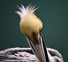 Juvenile Pelican by Paulette1021
