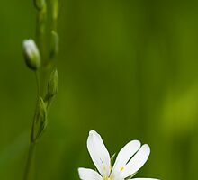 Greater Stitchwort by Anne Gilbert