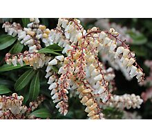Pieris Japonica Photographic Print