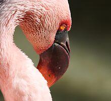 Flamingo by chris2766
