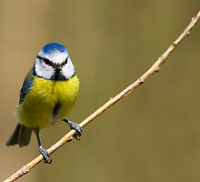 Blue Tit  (Parus caeruleus)  by chris2766