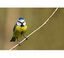 Blue Tit  (Parus caeruleus)  Photographic Print