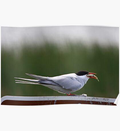 Alaska bird eating fish Poster