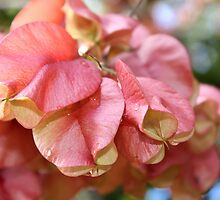 Pink Bougainvillea  by SandyMoulder
