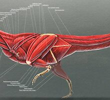Carnotaurus Muscle Study by Thedragonofdoom