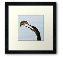 Snake-bird (Anhinga) showing his fish Framed Print