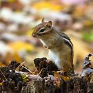 Chipmunk in Autumn by Mikell Herrick