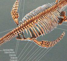 Elasmosaurus Skeleton Study Sticker