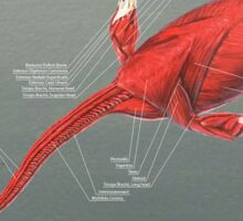 Elasmosaurus Muscle Study Sticker
