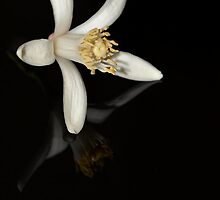 lemon tree blossom reflection blk by Rae Ann M. Garrett