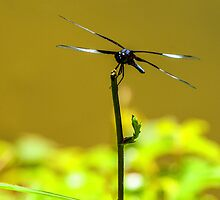 Poised For Flight - Dragonfly by mcstory