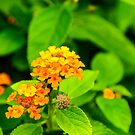 Lantana - Orange by Mary Carol Story