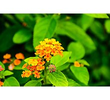 Lantana - Orange Photographic Print