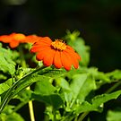 Mexican Sunflower by Mary Carol Story