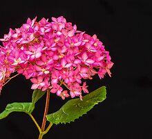 Pink Hydrangea - 2 by Mary Carol Story