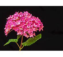 Pink Hydrangea - 2 Photographic Print