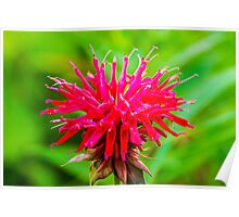 Bee Balm - Red Poster