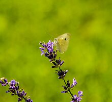 Small White Butterfly On Lavender by Mary Carol Story