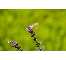 Small White Butterfly On Lavender Photographic Print