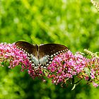 Spicebush Swallowtail by mcstory